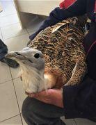Eskişehir'de nesli tükenmekte olan 'Toş' kuşu bulundu
