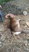 Araç çarpan yaralı kızıl geyik tedavi altına alındı