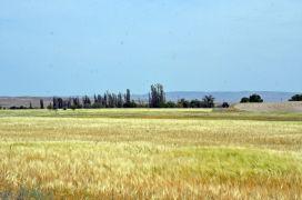 Kuraklıktan ekinler 1,5 ay önce sarardı