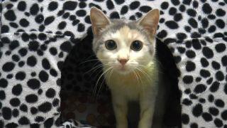 Leyla isimli kedi FIP virüsüyle yaşam savaşı veriyor
