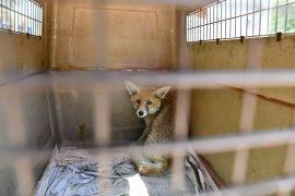 Girdiği işletmede yakalanan yavru tilki doğaya bırakıldı